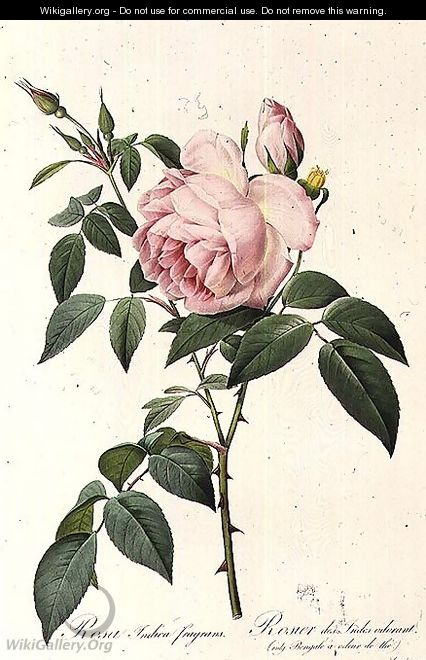 Rosa Indica Fragrans, engraved by Langlois, published by Remond 2 - Pierre-Joseph Redouté