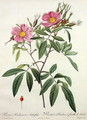 Rosa Hudsoniana Salicifolia, engraved by Langlois, published by Remond - Pierre-Joseph Redouté