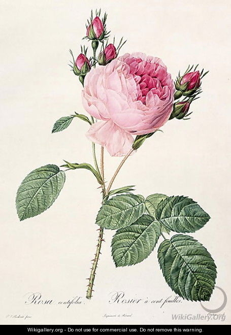 Rosa Centifolia, from Les Roses, engraved by Couten, published by Remond, 1817 - Pierre-Joseph Redouté