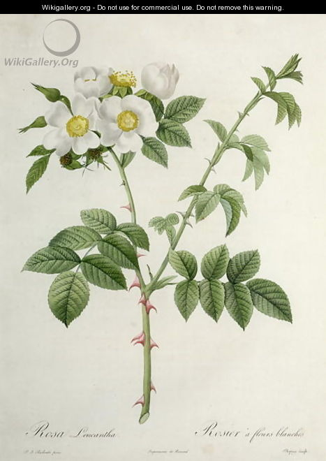 Rosa Leucantha, engraved by Chapuy, published by Remond - Pierre-Joseph Redouté