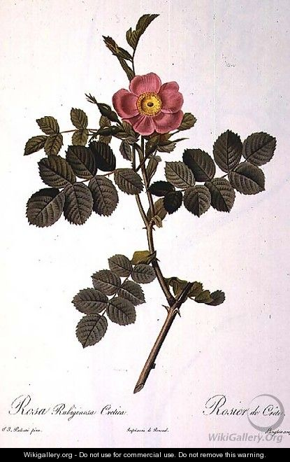 Rosa Rubiginosa Cretica, engraved by Langlois, from Les Roses, published by Remond, 1818 - Pierre-Joseph Redouté