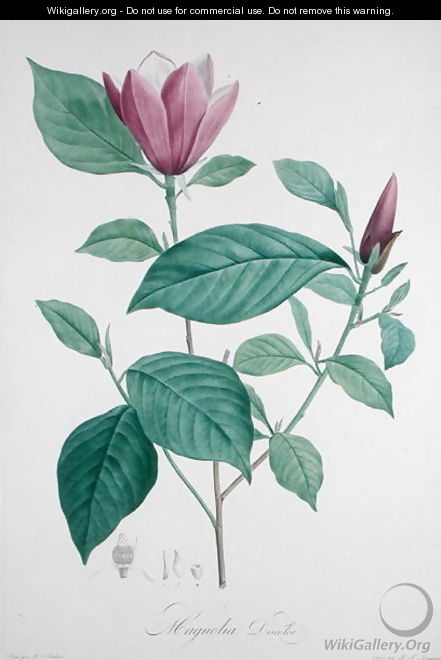 Magnolia discolor, engraved by Legrand - (after) Redoute, Henri Joseph