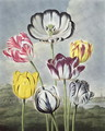 Tulips, engraved by Earlom, from The Temple of Flora by Thornton, 1807 - Philip Reinagle