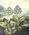 Primrosa Primula auricula, engraved by Sutherland, from Robert Thorntons Temple of Flora 1807 - Philip Reinagle