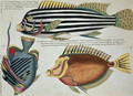Three Fish, plate 31 from Vol 2 of Fish, Crayfish and Crabs, pub. 1754 - (after) Renard, Louis