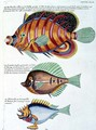 Three Fish, plate 38 from Vol 2 of Fish, Crayfish and Crabs, pub. 1754 - (after) Renard, Louis