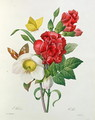 Christmas Rose, Helleborus niger and Red Carnation with Butterflies, from Les Choix des Plus Belles Fleurs by Pierre Redoute 1759-1840 - Pierre-Joseph Redouté