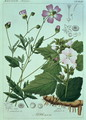 Althaea officinalis Marsh Mallow plate 173, illustration from Icones Florae Germanicae Helveticae..., Tom 5, 1844 - Heinrich Gottlieb Ludwig Reichenbach