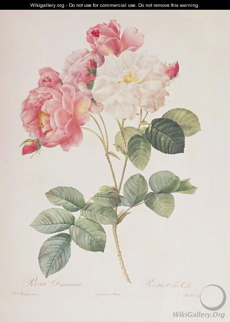 Rosa Damascena, from Les Roses, 1817 - Pierre-Joseph Redouté