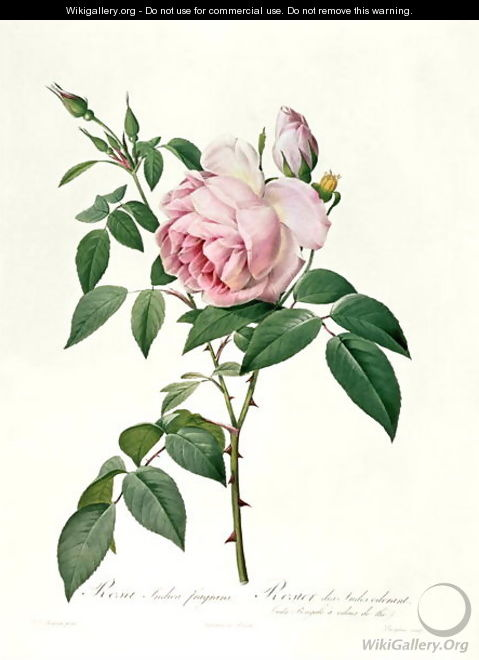 Rosa chinensis and Rosa gigantea, from Les Roses, 1817 - Pierre-Joseph Redouté