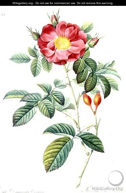 Rosa Damascena, from Les Roses - Pierre-Joseph Redouté