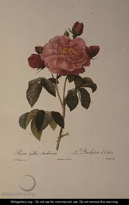 Rosa Gallica Aurelianensis or the Duchess of Orleans from, Les Roses, 1821 - Pierre-Joseph Redouté