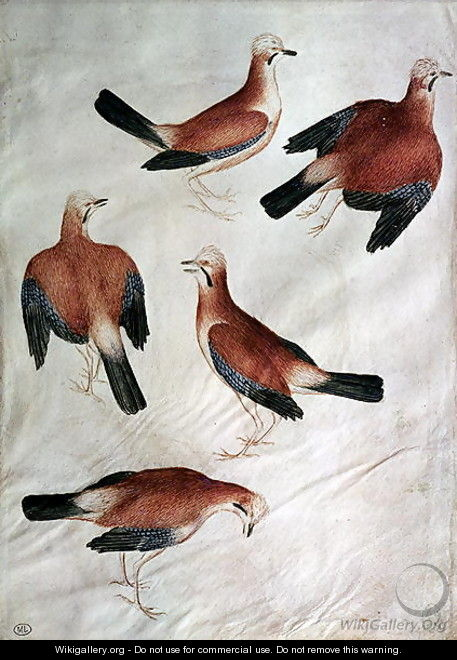 Five Jays, from the Vallardi Album - Antonio Pisano (Pisanello)