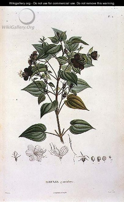 Rhexia grandiflora, engraved by Bouquet, plate 11 from Part VI of Voyage to Equinoctial Regions of the New Continent