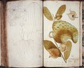 Ms 23 Cardamom, from a manuscript on plants of the Antilles and Santo Domingo - Charles Plumier