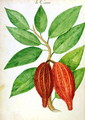 Cacao, from a manuscript on plants and civilization in the Antilles, c.1686 - Charles Plumier