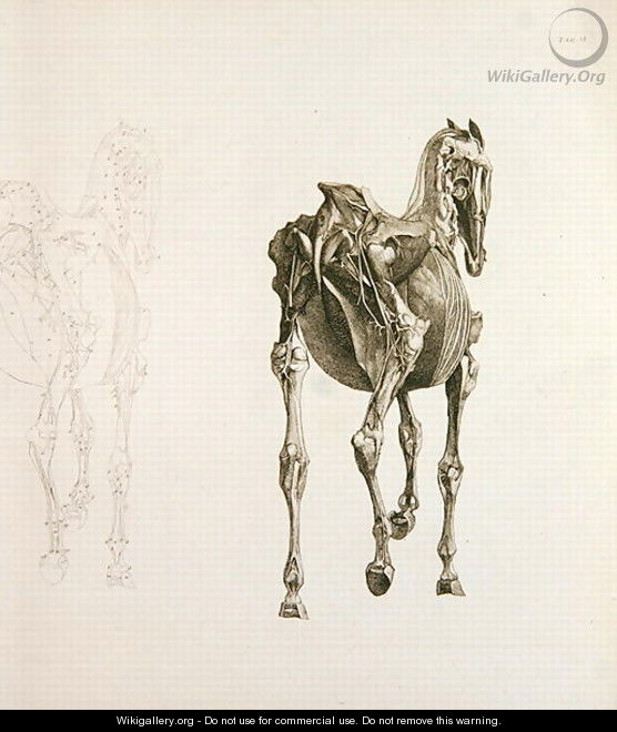 Tab. XV, from The Anatomy of the Horse..., 1766 - George Stubbs