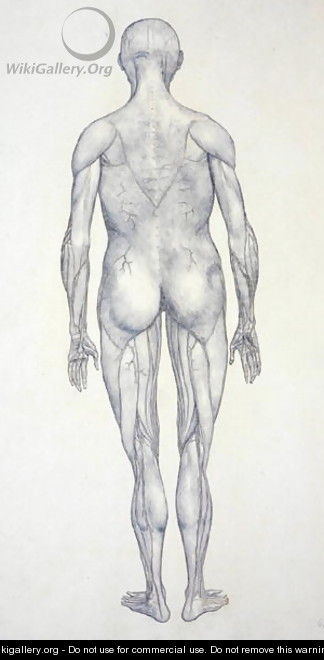 Study of the Human Figure, Posterior View, from A Comparative Anatomical Exposition of the Structure of the Human Body with that of a Tiger and a Common Fowl, c.1795-1806 9 - George Stubbs