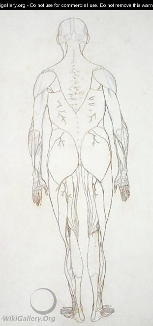 Study of the Human Figure, Posterior View, from A Comparative Anatomical Exposition of the Structure of the Human Body with that of a Tiger and a Common Fowl, c.1795-1806 8 - George Stubbs