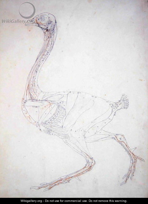 Study of a Fowl, Lateral View, Diagram for Key to Table XV, from A Comparative Anatomical Exposition of the Structure of the Human Body with that of a Tiger and a Common Fowl, 1795-1806 - George Stubbs