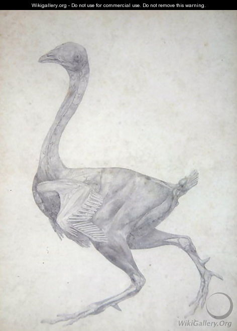 Study of a Fowl, Lateral View, with skin and underlying fascial layers removed, from A Comparative Anatomical Exposition of the Structure of the Human Body with that of a Tiger and a Common Fowl, 1795-1806 - George Stubbs