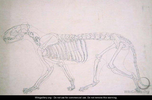 Study of a Tiger, Lateral View, from A Comparative Anatomical Exposition of the Structure of the Human Body with that of a Tiger and a Common Fowl, 1795-1806 17 - George Stubbs