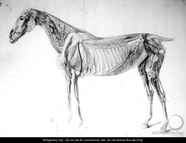 Diagram From The Anatomy Of The Horse George Stubbs Wikigallery