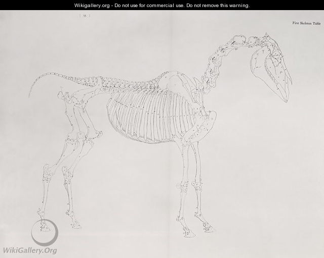 First Skeleton Table From The Anatomy Of The Horse George Stubbs