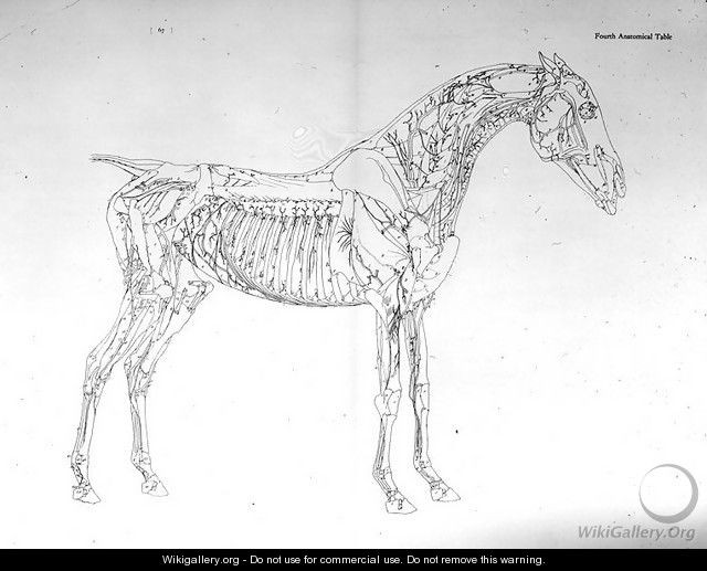 Fourth Anatomical Table From The Anatomy Of The Horse George