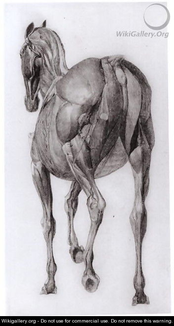 Dorsal view of the muscle structure of a progressively dissected horse, study No.7 from The Anatomy of the Horse, 1766 - George Stubbs