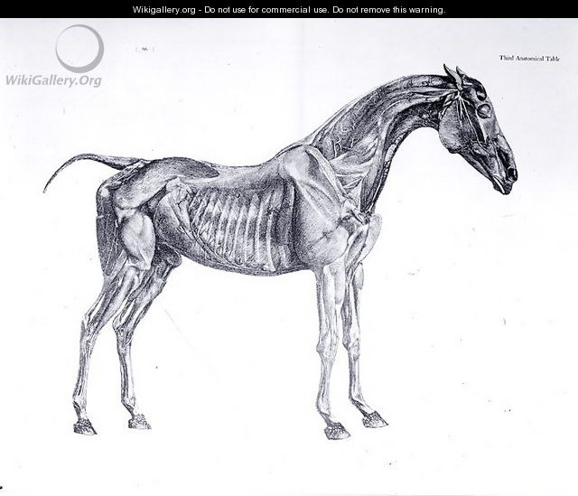 Third Anatomical Table From The Anatomy Of The Horse George