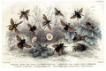 Study of different bees, engraved J. Bishop - J. Stewart