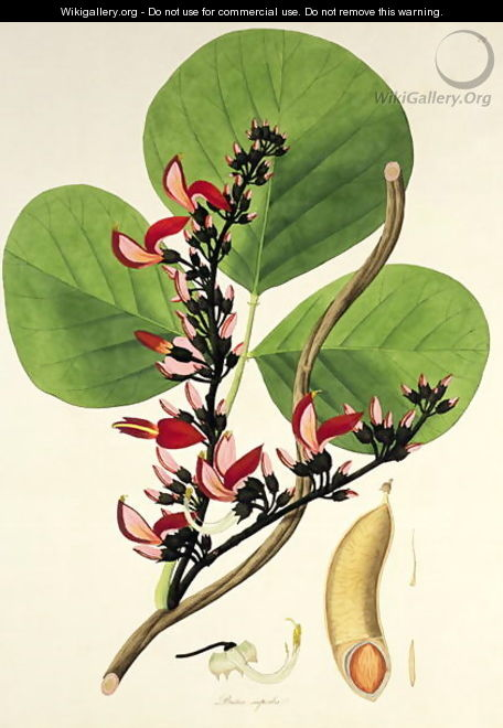 Butea Superba, illustration from Plants of the Coromandel Coast, 1795 - William Roxburgh