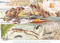 Development of the Frog illustration from Country Days and Country Ways - Louis Fairfax Muckley