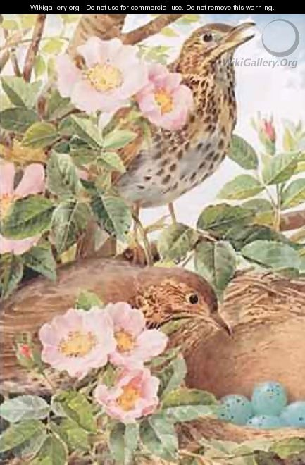 Song Thrushes with Nest illustration from Country Days and Country Ways 1940s - Louis Fairfax Muckley