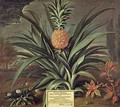 Pineapple grown in Sir Matthew Deckers Garden Richmond Surrey 1720 - Theodorus Netscher