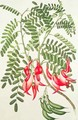 Clianthus puniceus, Plate 432 from Banks Florilegium, gathered from North Island, New Zealand, on Captain Cooks First Voyage, engraved by Daniel MacKenzie, 1769 - Sydney Parkinson