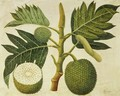 Bread Fruit, c.1769 - Sydney Parkinson