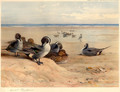 Pintails on the Shore - Archibald Thorburn