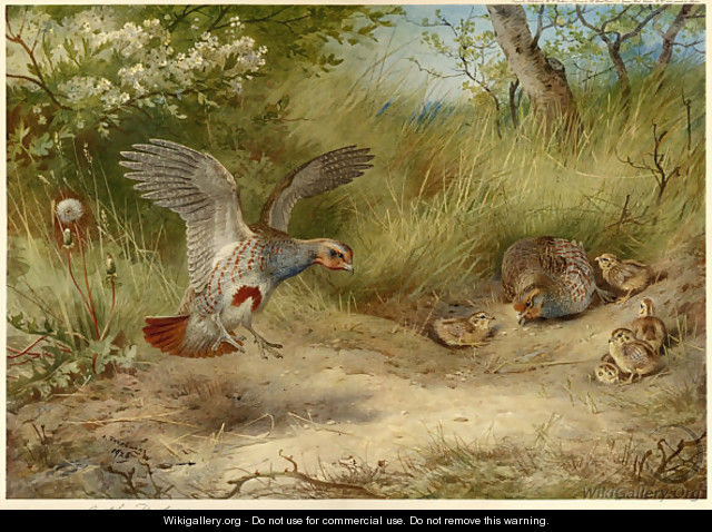 Partridges and Young - Archibald Thorburn