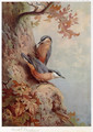 Nuthatches - Archibald Thorburn