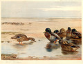 Mallard on the Shore - Archibald Thorburn