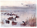 Mallard on the Lake at Sandringham - Archibald Thorburn