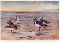 Lapwing and Golden Plover - Archibald Thorburn