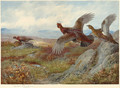 Grouse Over the Moor - Archibald Thorburn