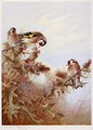 Goldfinches on Thistles - Archibald Thorburn