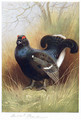 Blackcock - Archibald Thorburn