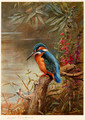 Summer Kingfisher - Archibald Thorburn