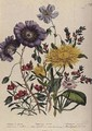 Calandrinia plate 18 from The Ladies Flower Garden - Jane Loudon
