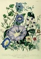Bindweed plate 26 from The Ladies Flower Garden - Jane Loudon